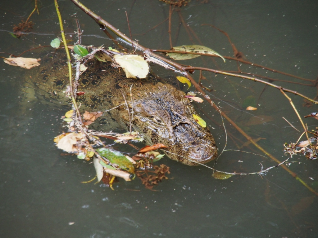 Yeah! The day's top sighting of a caiman. With its eyes open and EVERYTHING