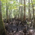 Louisiana swamp, including cypress knees (answers on a postcard if you know what these are)
