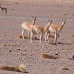 Vicunas - very rare, very fluffy. If I could, I'd have killed one for its snuggly fur