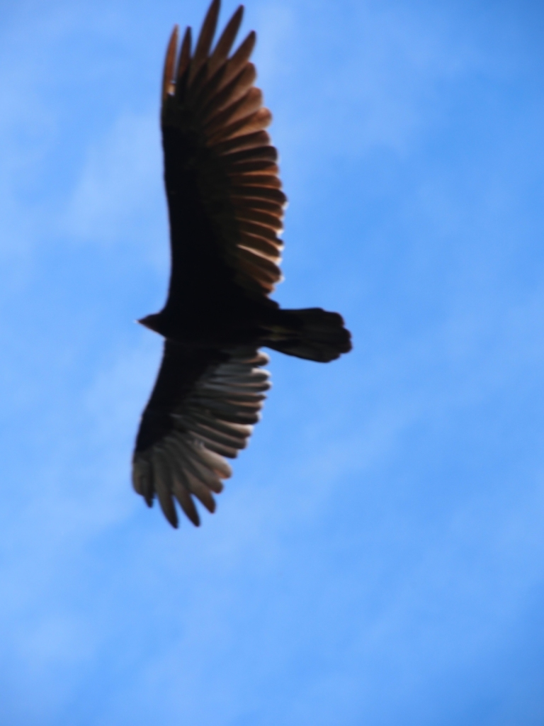 We think this is a black vulture ( or so someone said). Definitely a bird of prey, anyway