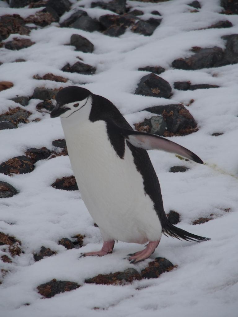 Penguin who's taken cuteness lessons