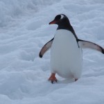 I'm trying very hard not to overload on cute penguin photos. But really...