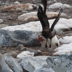 Attack penguin! (behind the skua) Surprisingly scary, actually