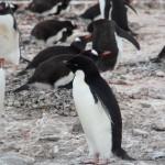 Including a rogue Adele penguin (spot the black beak)