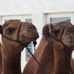 For those intereested, camels say Uggghhrrr. Not wholly confident on the spelling, mind