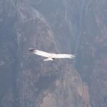 Lady condor soaring