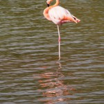 Fabulous flamingo, flaunting its fuchsia feathers