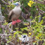 Fluffy ickle chick-y wick-y, so cute.... oh, and a parent red footed booby