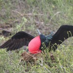 "OK, I may have provoked the frigate bird a little to get this pose: ""Call yourself magnificent??"""
