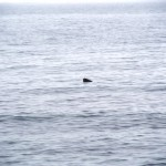 Ze Leopard Seal - she is so verry far away. Ze zoom lens of doom he does not intrude on her solitude